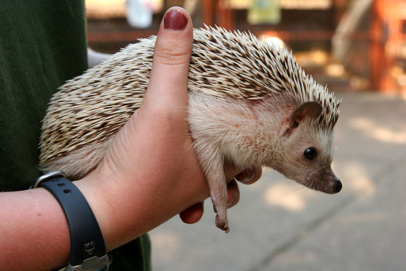 Hedgehog Pet Price >> How To Care For African Pygmy Hedgehogs