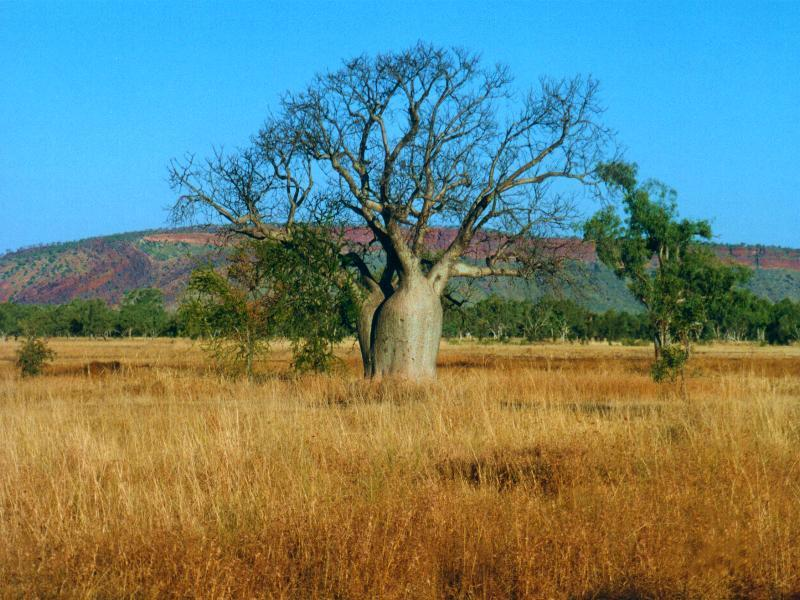 Boab tree in The Kimberley, Western Australia