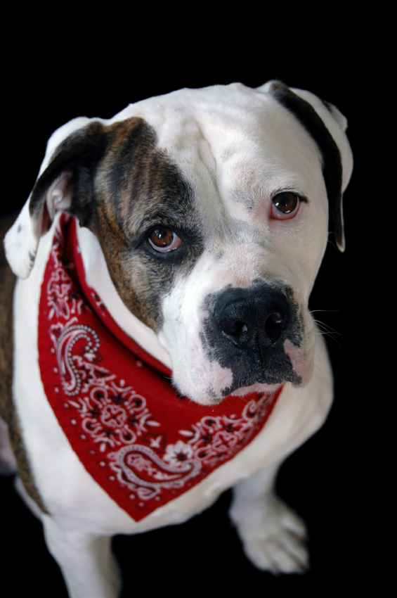 Staffie in red bandana