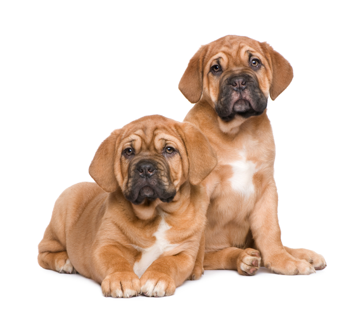 Dogue Puppies