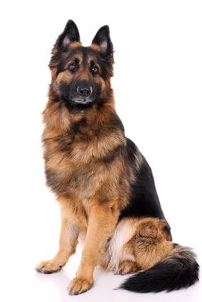 German Shepherd Adult Dog