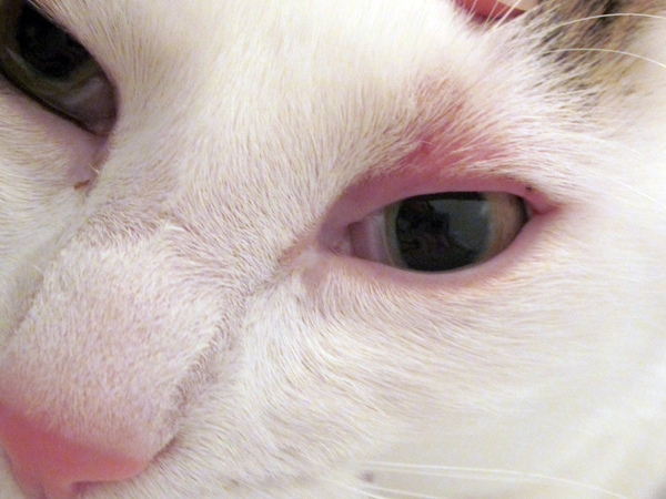 pet eye irritations the symptoms and what they mean