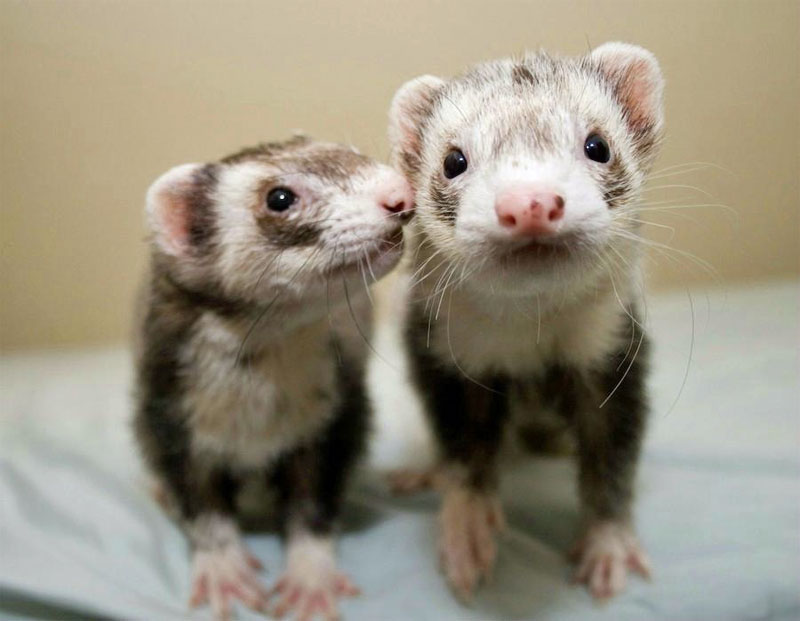 Things to Consider Before Buying a Ferret Pet Ferret Cage