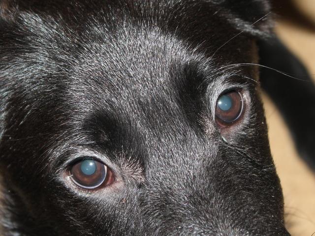 Dog Eye Discharge Glaucoma