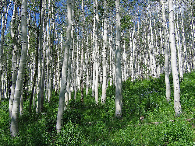 Xylitol is made from birch tree bark