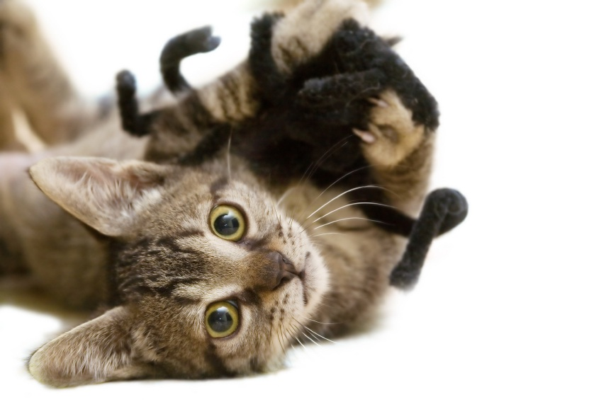 Cat with toy spider