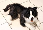 Border Collie Large Lying plush toy - Oscar