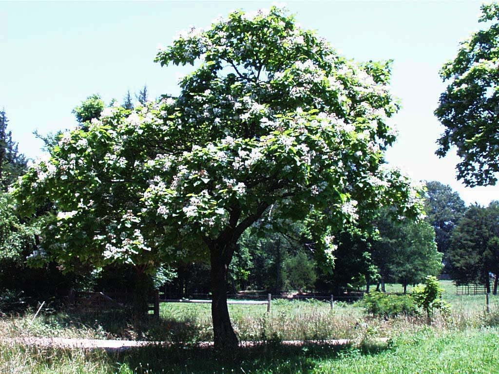 Catalpa bignonioides indian bean tree blerick trees buy for Purchase trees
