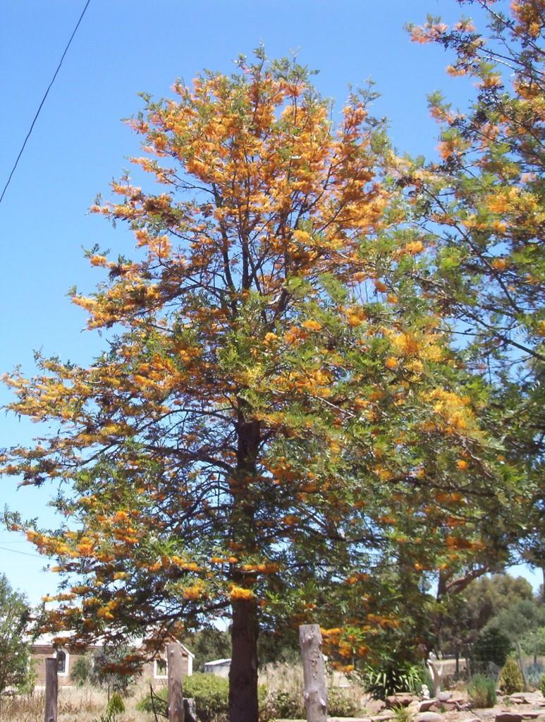 Grevillea robusta silky oak blerick trees buy online for Purchase trees