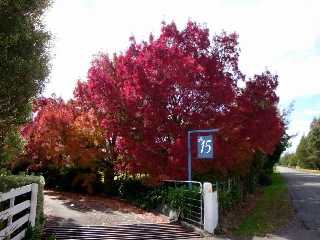 Fraxinus angustifolia raywood claret ash tree blerick trees buy