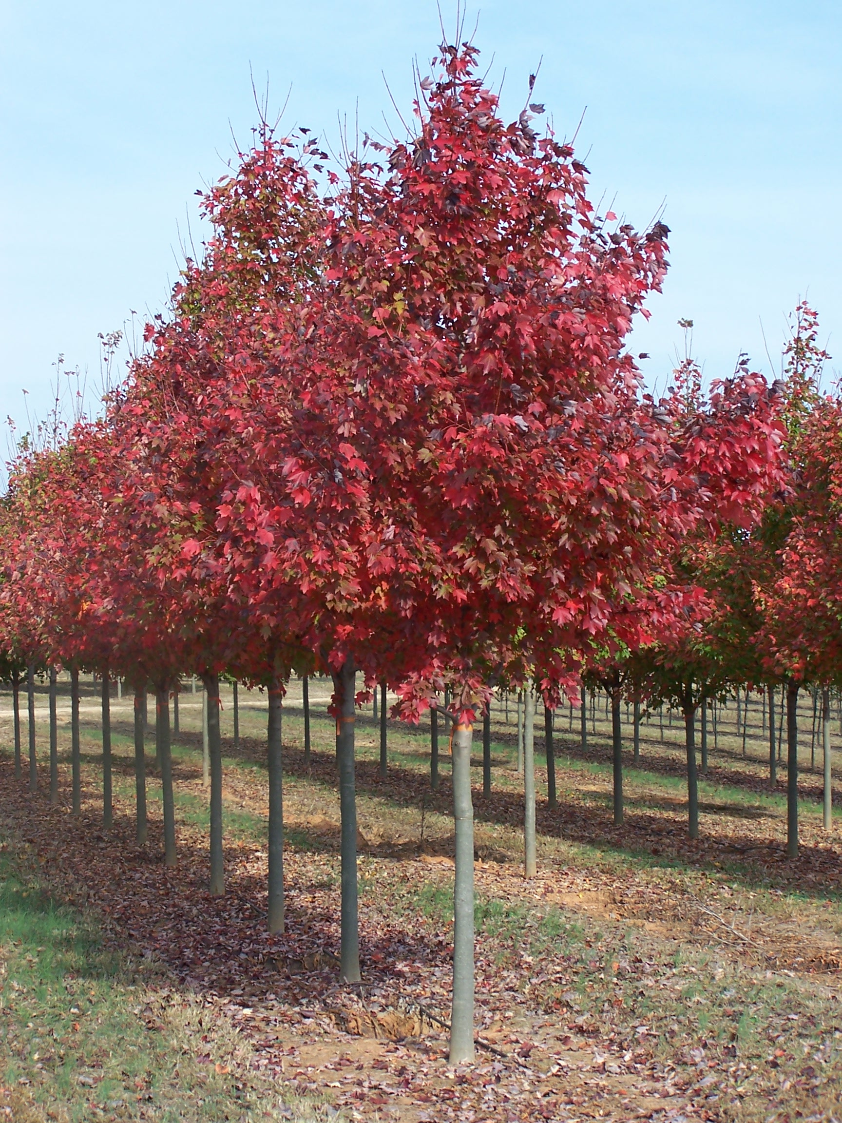 Acer rubrum fairview flame lipstick maple red maple tree for Purchase trees