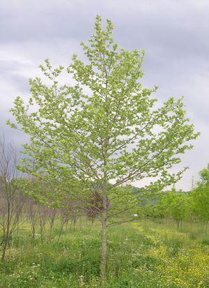 Platanus acerifolia - London Plane Tree Blerick Trees Buy Online Trees ...