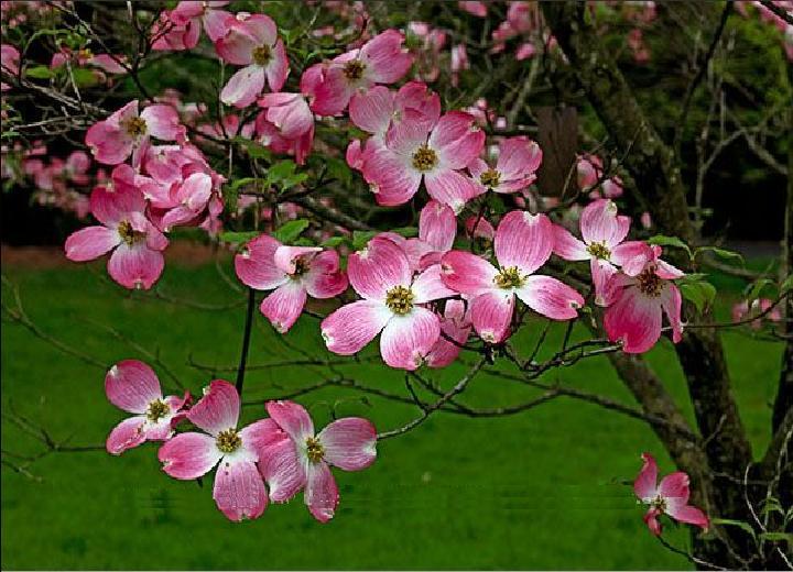 cornus florida rubra pink dogwood tree blerick trees buy online trees advanced trees. Black Bedroom Furniture Sets. Home Design Ideas