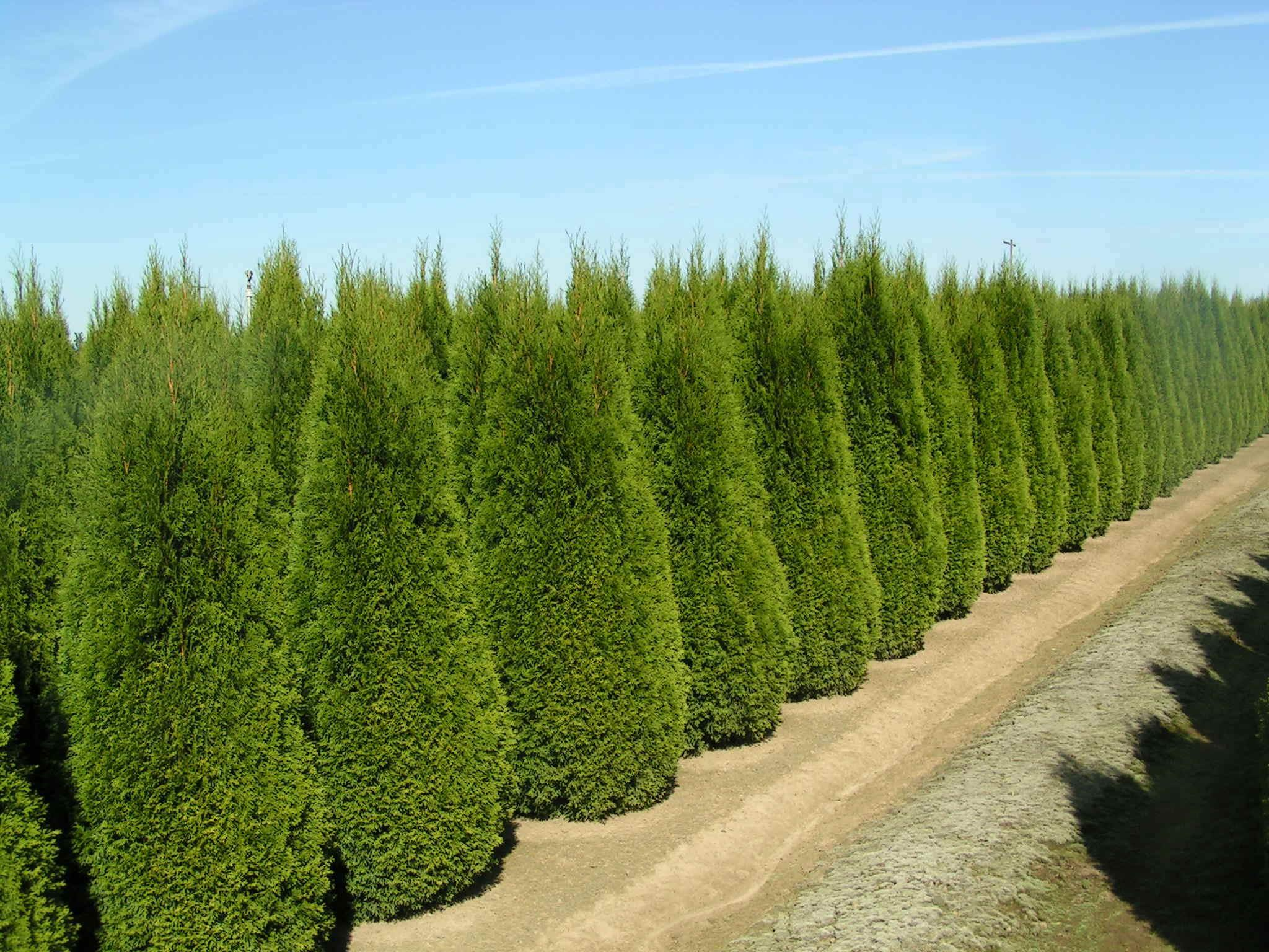thuja occidentalis smaragd conifer blerick trees buy. Black Bedroom Furniture Sets. Home Design Ideas