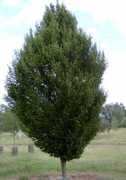 carpinus betulus fastigiata blerick trees buy online trees. Black Bedroom Furniture Sets. Home Design Ideas