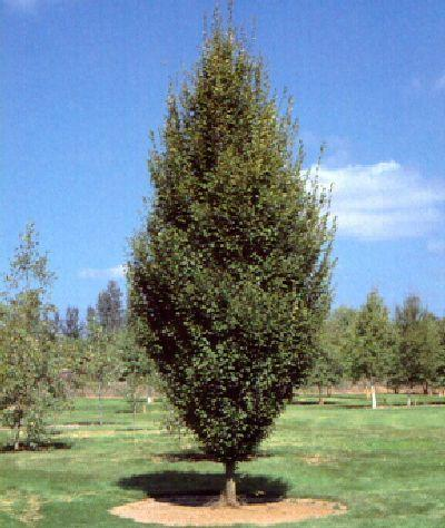 Carpinus betulus fastigiata blerick trees buy online trees advanced trees screening plants - Upright trees for small spaces concept ...