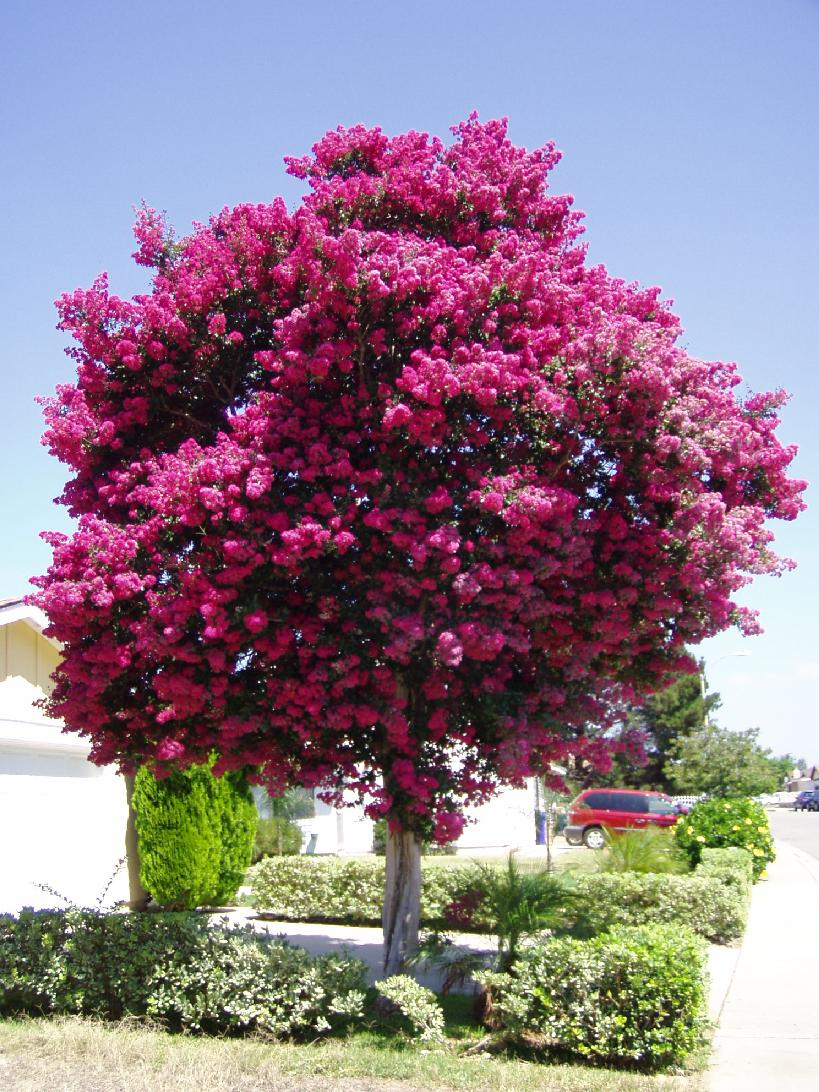 Lagerstroemia Indian Summer Crepe Myrtle Lipan Crepe