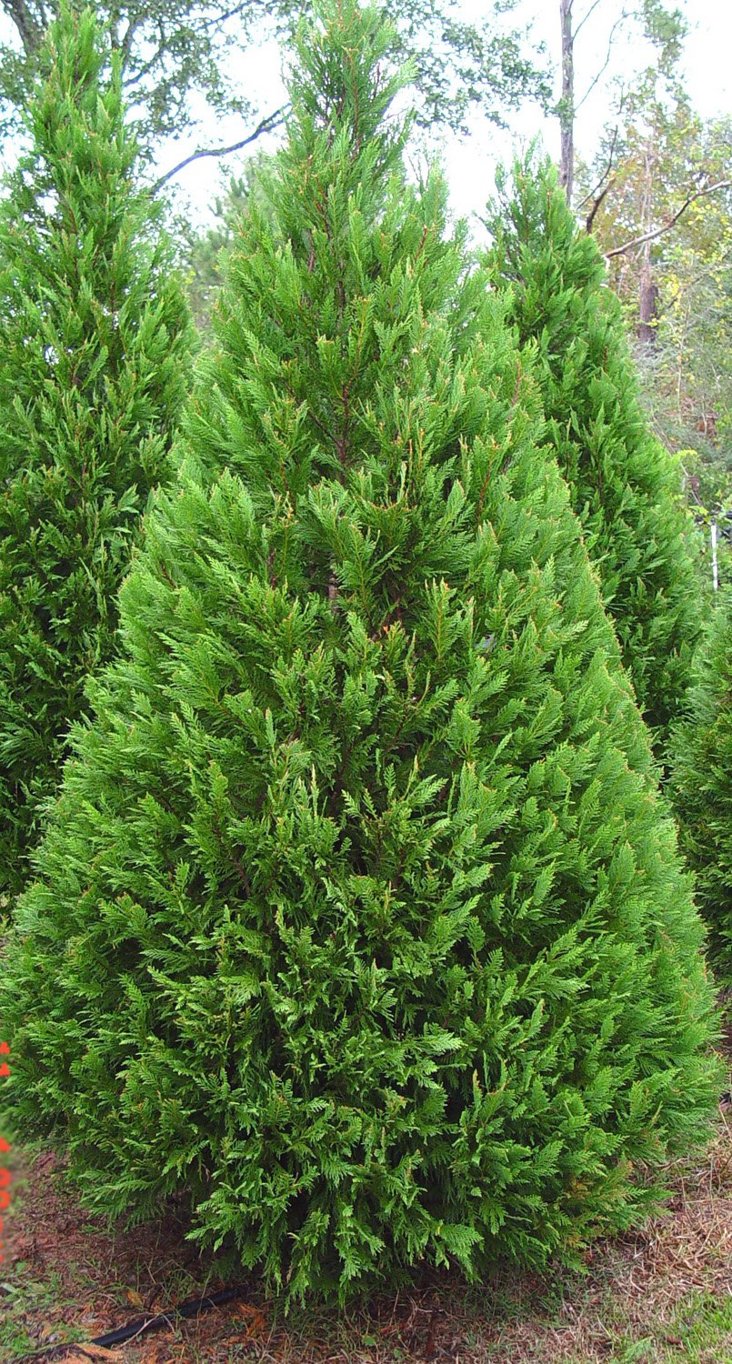 Cupressus leylandii leightons green cypress conifer for Purchase trees