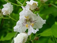 Catalpa bignonioides - Indian Bean Tree