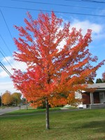 Acer rubrum - Canadian Maple - Red Canadian Maple Tree