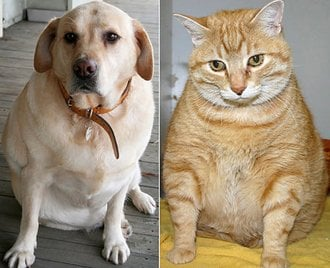 Fat Cats And Pudgy Puppies How To Prevent Pet Obesity