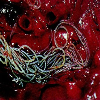 An absolutely horrifying picture of live heartworms from inside a dog's heart.