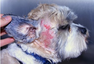 This really is a miserable skin condition. Just look at the poor puppy's eyes.