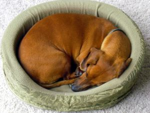 Curled Up Dachsun in his New Bed