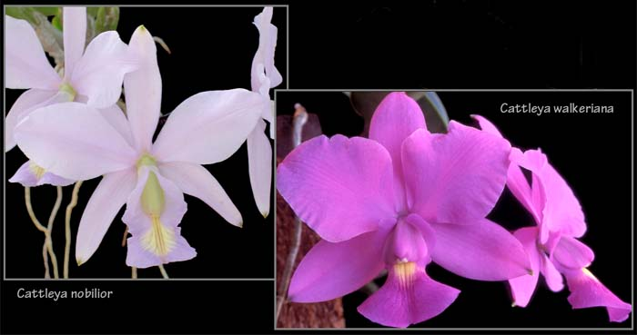 Cattleya nobilior and walkeriana